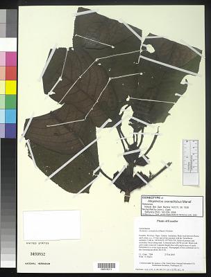 Alloplectus crenatilobus Mansf.