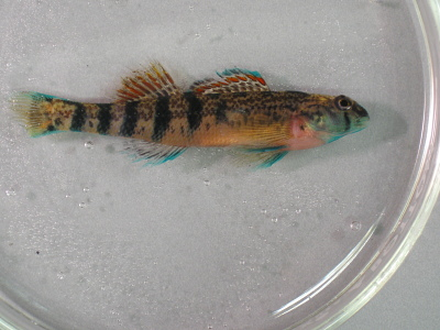 Etheostoma coosae