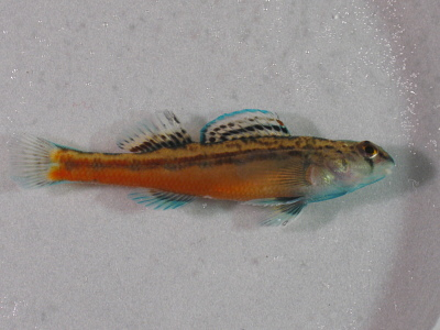 Etheostoma zonistium Bailey & Etnier