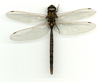 Aeshna umbrosa occidentalis