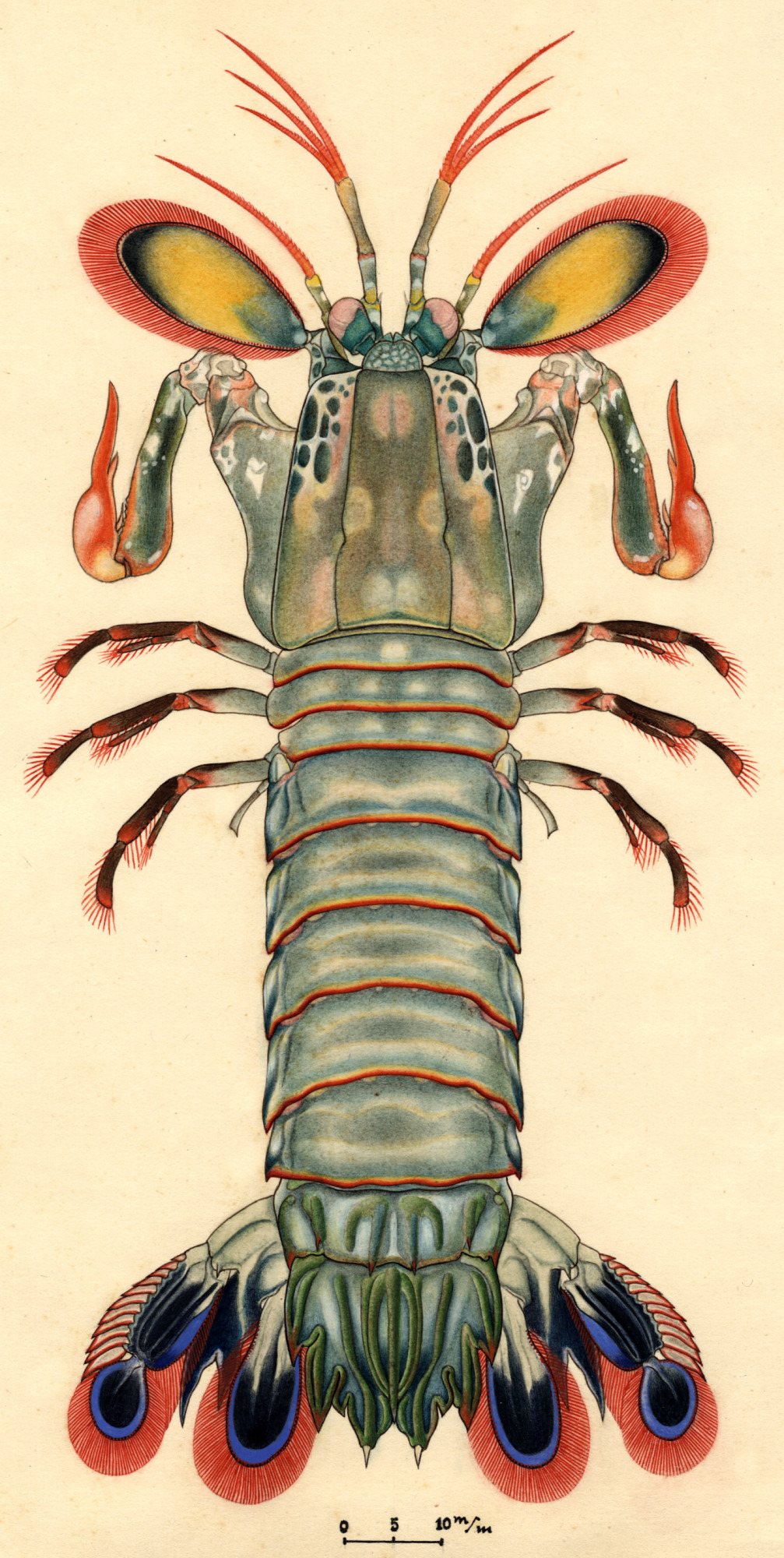 images for Odontodactylus scyllarus (Linnaeus, 1758)