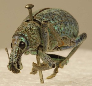 images for Metallic Beetle-thumbnail 1