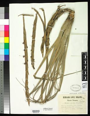 Vriesea lopezii L.B. Sm.