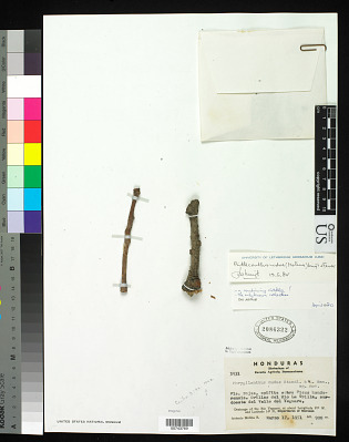 Phrygilanthus nudus Ant. Molina