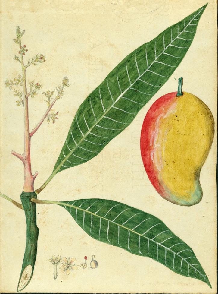 images for Mangifera indica L.