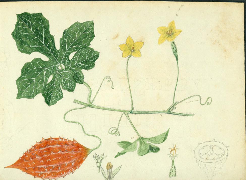 images for Momordica charantia L.