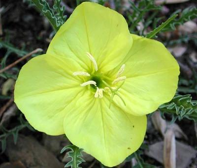 Oenothera acutissima W.L. Wagner