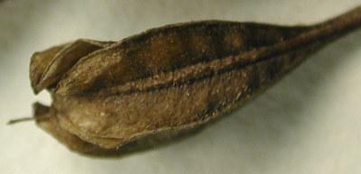Oenothera fruticosa subsp. tetragona (Roth) W.L. Wagner