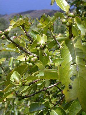 Ixora marquesensis F. Br.