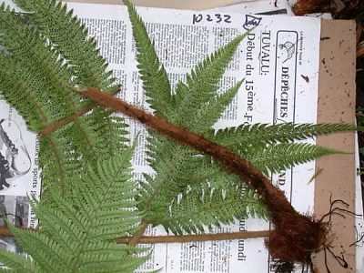 Polystichum marquesense E.D. Br.