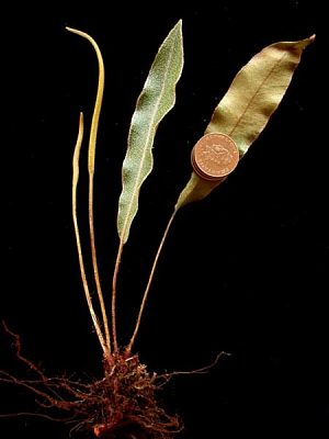 Elaphoglossum austromarquesense Rouhan & Lorence