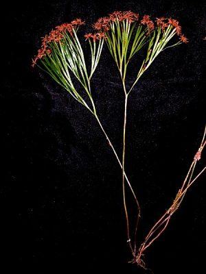 Schizaea dichotoma (L.) J. Sm.