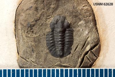 Bathyuriscus (Poliella) caranus Walcott
