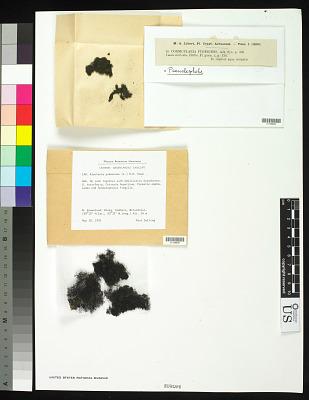 Pseudephebe pubescens (L.) M. Choisy