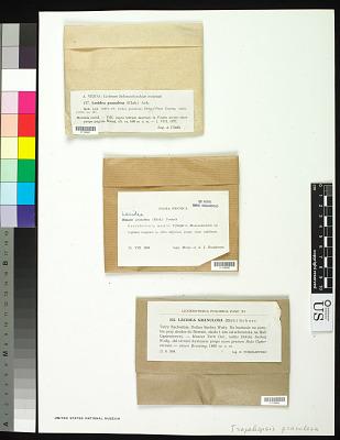 Trapeliopsis granulosa (Hoffm.) Lumbsch