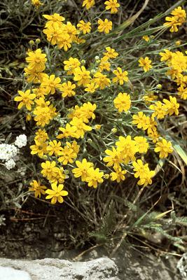 Eriophyllum lanatum (Pursh) J. Forbes