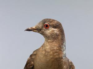 images for Ectopistes migratorius-thumbnail 12