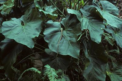 Anthurium cordatum (L.) Schott