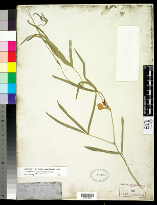 Cologania angustifolia Kunth
