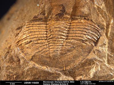 Bronteopsis tennesseensis Cooper