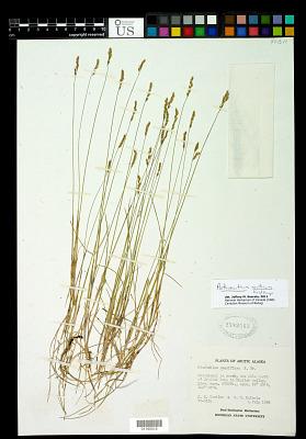 Anthoxanthum arcticum Veldkamp