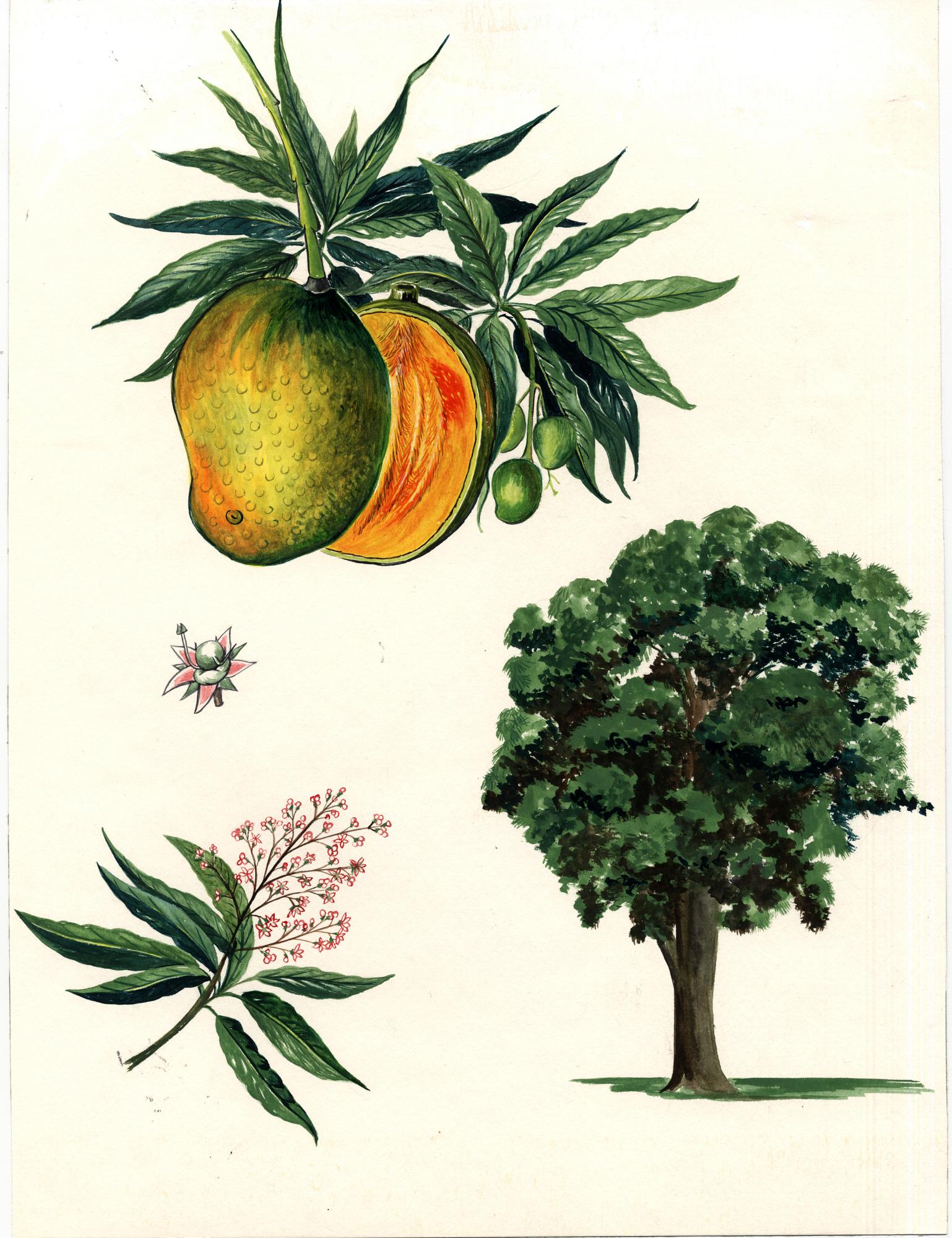 images for Mangifera indica L..