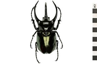 Beetles   Smithsonian Institution