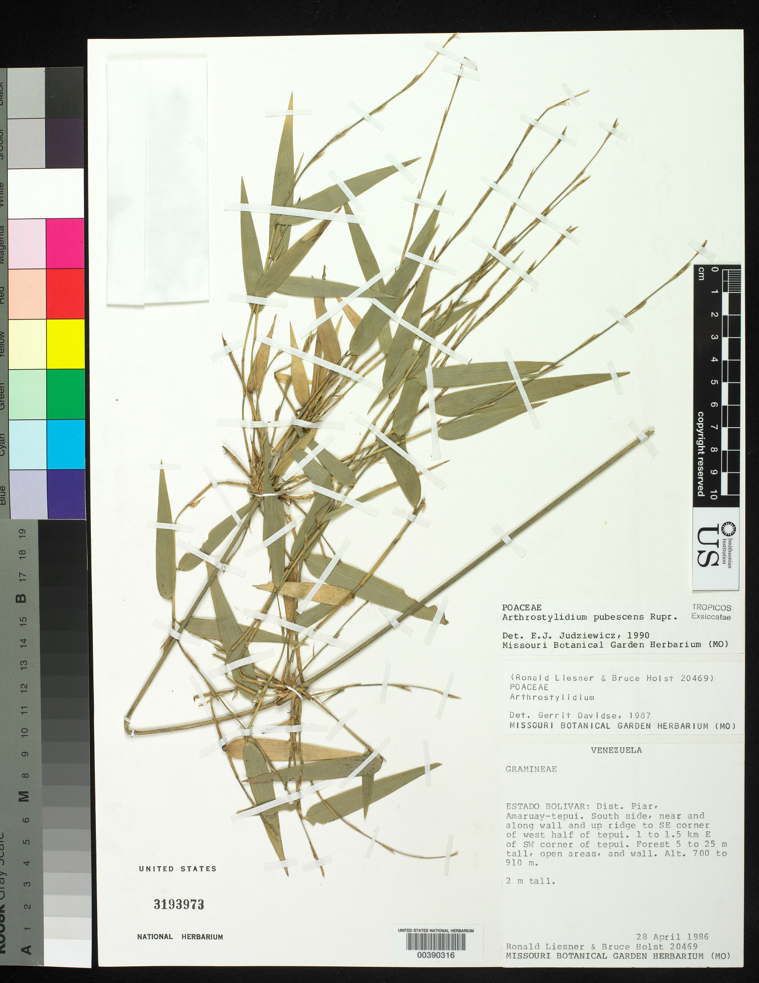 images for Arthrostylidium pubescens Rupr.