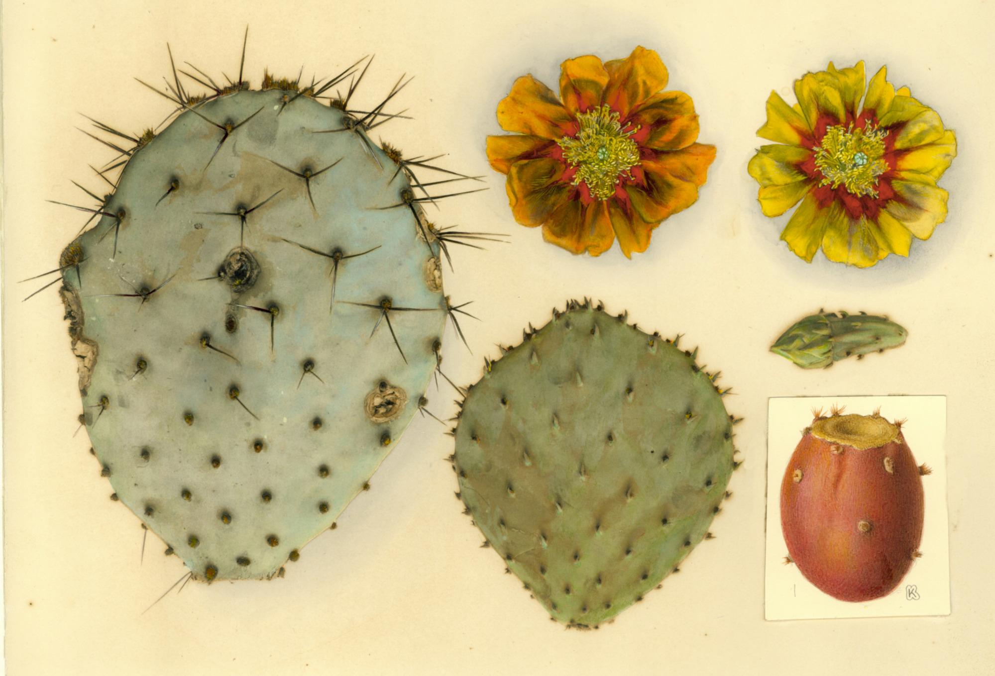 images for Opuntia azurea Rose