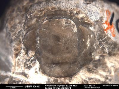 Chariocephalus badgerensis Resser