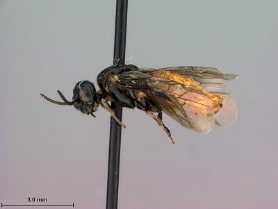 Ptenus torridus