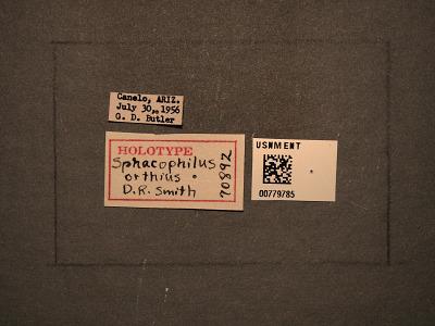 Sphacophilus orthius