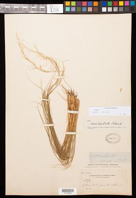 Stipa stricta var. sparsiflora Vasey