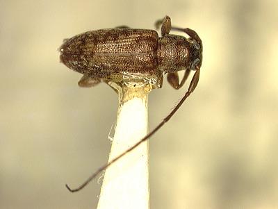Sciadella (Micronesiella) attenuata