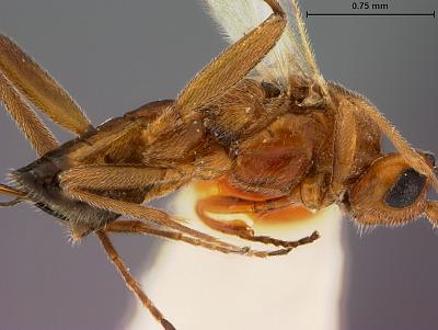 Orgilus cerinus