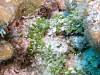 images for Caulerpa elongata Weber Bosse-thumbnail 1