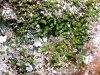 images for Caulerpa elongata Weber Bosse-thumbnail 5