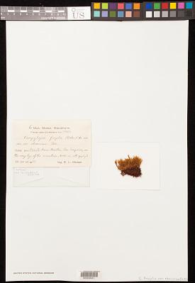 Campylopus fragilis var. obscurum Thér.