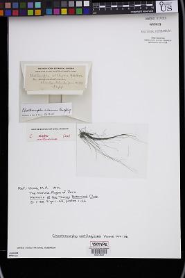 Chaetomorpha cartilaginea M. Howe