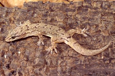 Hemidactylus thayene