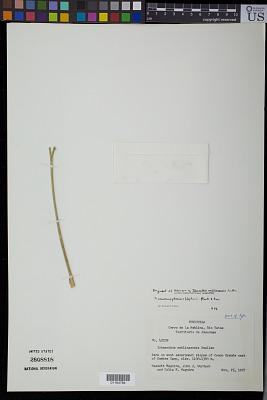 Ichnanthus neblinaensis Swallen