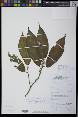Leptonychia kamerunensis Engl. & K. Krause