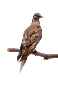 images for Ectopistes migratorius-thumbnail 53