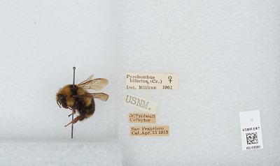 Bombus (Pyrobombus) bifarius Cresson, 1878