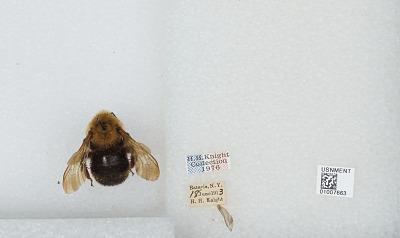 Bombus (Psithyrus) citrinus (Smith, 1873)