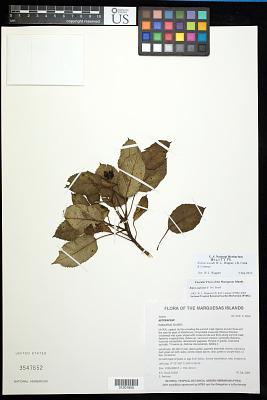 Bidens woodii W.L. Wagner et al.