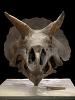 images for Triceratops horridus Marsh, 1889-thumbnail 1