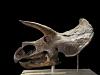 images for Triceratops horridus Marsh, 1889-thumbnail 3