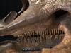 images for Triceratops horridus Marsh, 1889-thumbnail 9