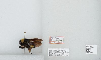 Bombus (Fervidobombus) pensylvanicus pensylvanicus